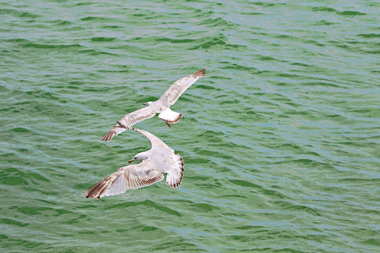 Animal Themes Animal Wildlife Animals In The Wild Bird Bird Of Prey Day Flying Nature No People Outdoors Seagulls Spread Wings Water