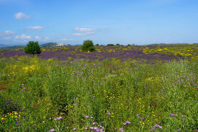 Beauty In Nature Blooming Blue Calabria Calabria (Italy) Calabriadascoprire Day Field Flower Fragility Freshness Grass Green Color Growth Landscape Meadow Nature Plant Rural Scene Scenics Sky Tranquil Scene Tranquility Wildflower Yellow
