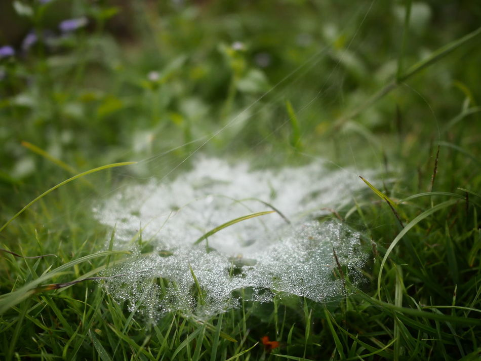 Spider Web Nature Grass Growth Plant Outdoors Day No People Green Color Close-up Beauty In Nature Tree Dew Dewdrops Dew Drops On Leaf Dewdropphotography Dew Drops On Spider Web Thai Thailand Thailandtravel Nature Grass Grassland Grassy Field