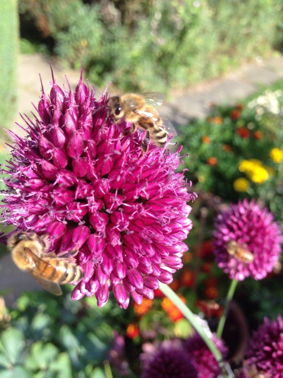 Bees And Flowers Bees Bienen  Bienen Bei Der Arbeit Wildbienen Bee Biene Wildbee Wildbiene Lauch Garden Photography Kugellauch Zierlauch Garden Allium Flower Allium Sphaerocephalon Garten Pflanze Natur