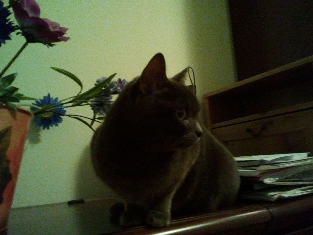 Animal Themes Cat Certosino Day Domestic Animals Domestic Cat Feline Gatto Grigio Gatto😸 Home Interior Indoors  No People One Animal Pets Sitting