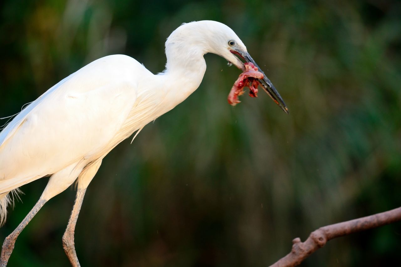Animal Themes Beauty In Nature Bird Bird Eating Bird Feeding Check This Out Close-up Day Eating Egret Eye4photography  EyeEm Best Shots EyeEm Gallery EyeEm Nature Lover Focus On Foreground Little Egret Nature Nature Photography Nature_collection Naturelovers No People Outdoors Selective Focus Taking Photos White