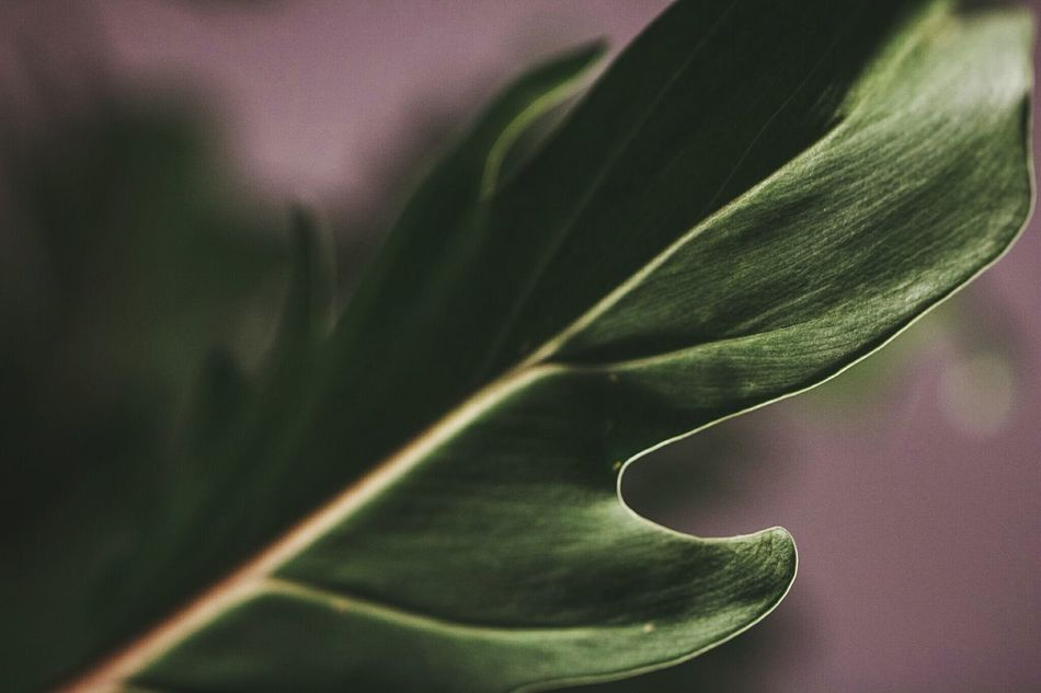 ~ 🌿🌱~ Close-up Green Color Leaf Indoors  No People Contrast Nature_collection Harmony With Nature Nature Photography Details Growth Moment Of Zen Macro Beauty Macro Nature Macro Photography Leaf Vein Pattern Natural Pattern Getting Inspired Perspective Light And Shadow Focus On Foreground Blurred Background Nature Full Frame