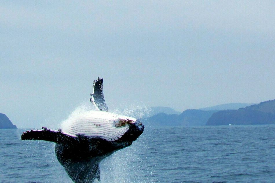 Beautiful stock photos of whale, Animal Themes, Animals In The Wild, Black Color, Clear Sky