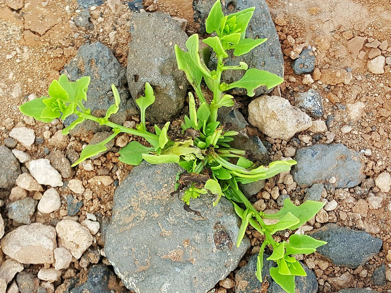 Nature Plant Plant Photography Little Plant Plant And Stone Stony Gravelly Powerful Powerful Nature Vital Gutsy Forceful Nature Forceful
