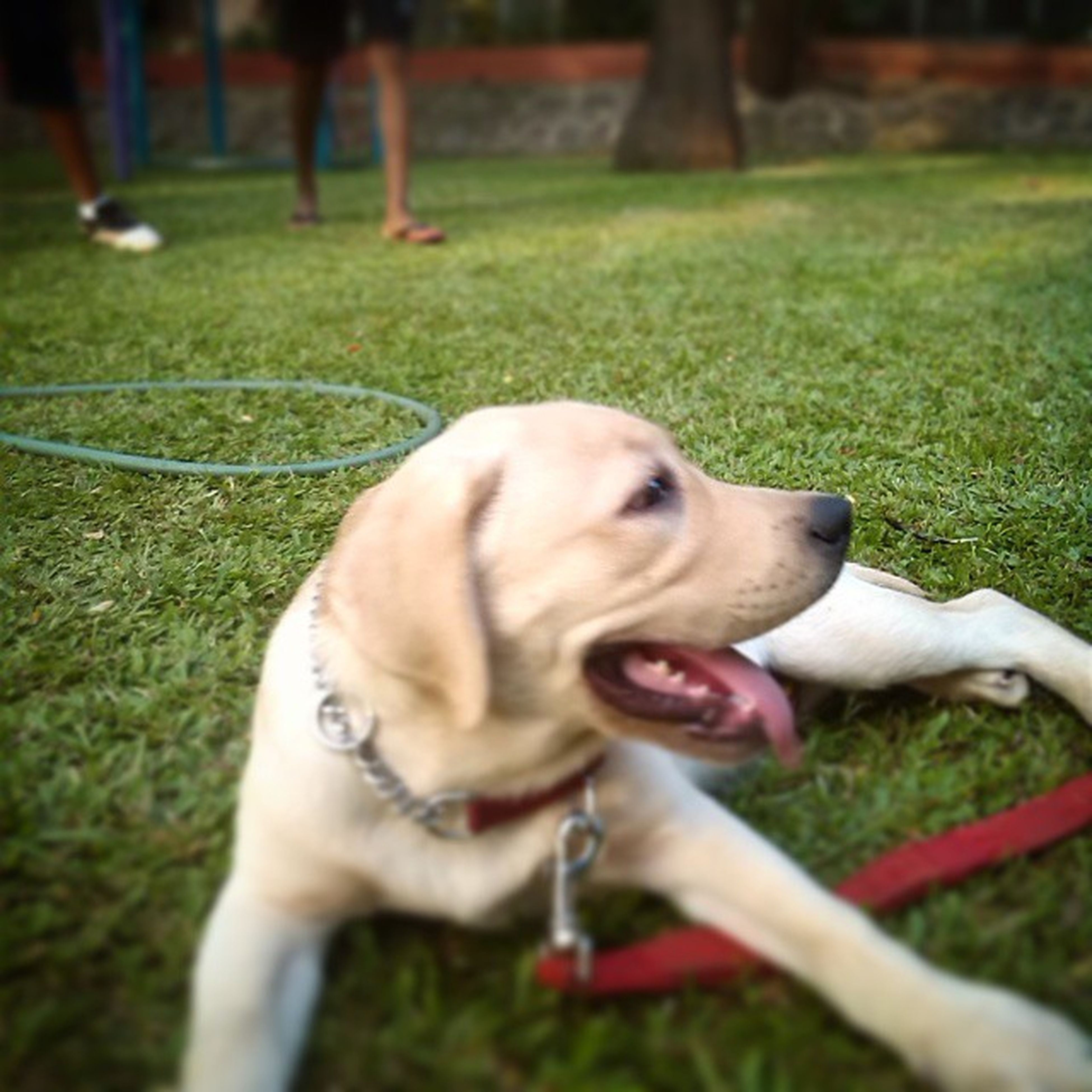 pets, dog, animal themes, domestic animals, mammal, one animal, person, grass, holding, pet owner, field, leisure activity, lifestyles, focus on foreground, playing, unrecognizable person, part of