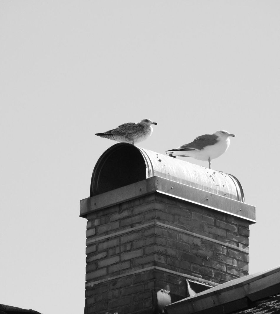 Two Is Better Than One Guls Seabirds Shimney Rooftop Sweden