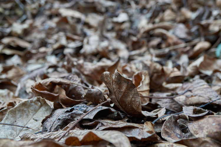 Autumn Beauty In Nature Change Close-up Day Dried Plant Dry Fallen Field Fragility Leaf Leaves Maple Nature No People Outdoors Template Template Leaves Texture Walnut Walnut Foliage Walnut Leaves