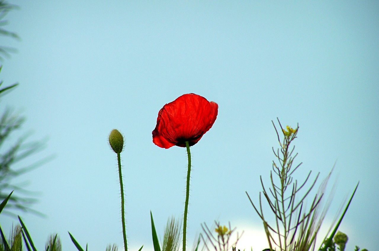 Papaver Papaver Rhoeas Flower Red Growth Nature Beauty In Nature Fragility Plant Freshness Petal No People Clear Sky Low Angle View Outdoors Flower Head Day Poppy Close-up Sky Flowers Close Up Flora Floral Blooming