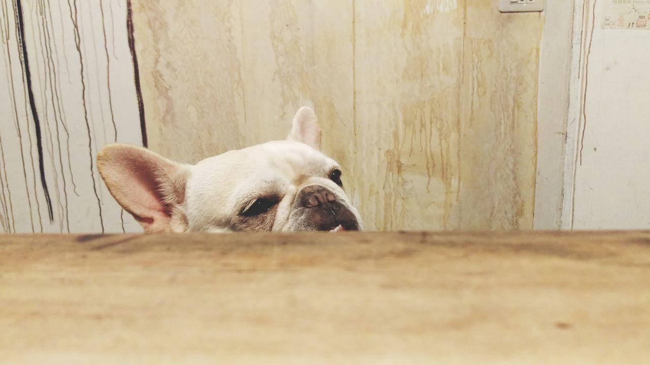 Animals Being Cultured Absorbing Animal Photography Frenchbulldog Dog Life Bulldog Dog Love Cute Pets Pets Corner 鐵蛋 Resist