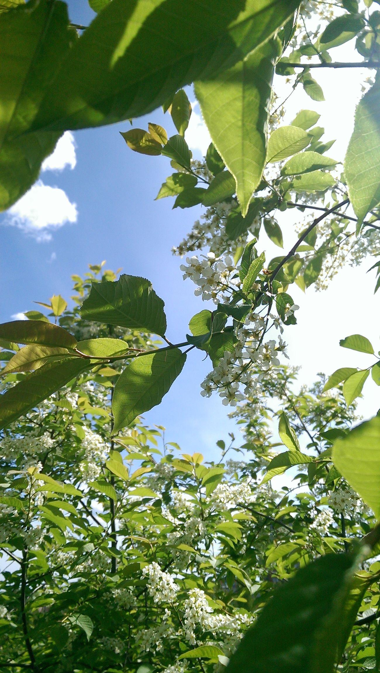 Spring Sky Flowers Bird Cherry Tree