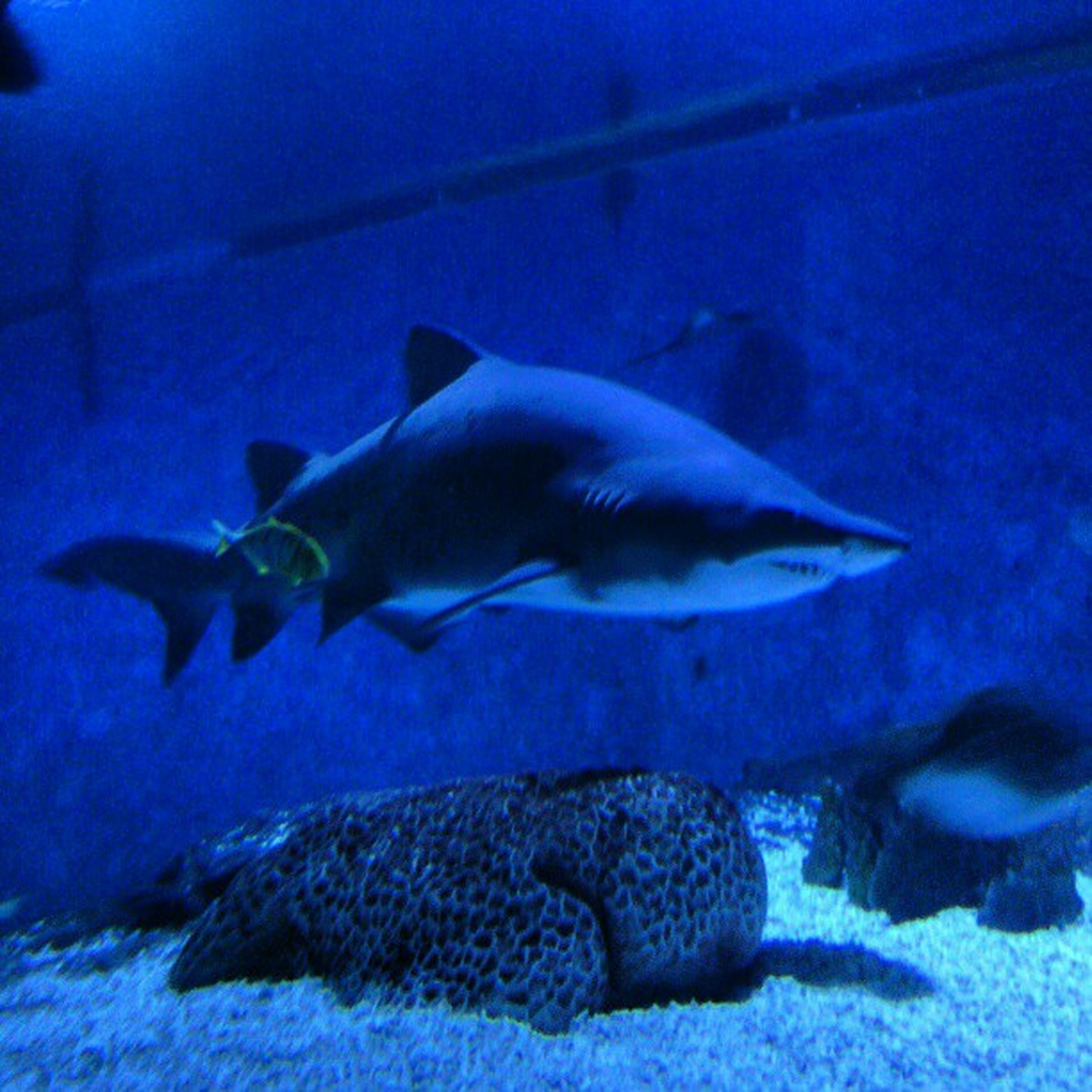 animal themes, underwater, animals in the wild, sea life, wildlife, swimming, fish, one animal, undersea, blue, water, aquarium, animals in captivity, sea, nature, two animals, zoology, indoors, full length