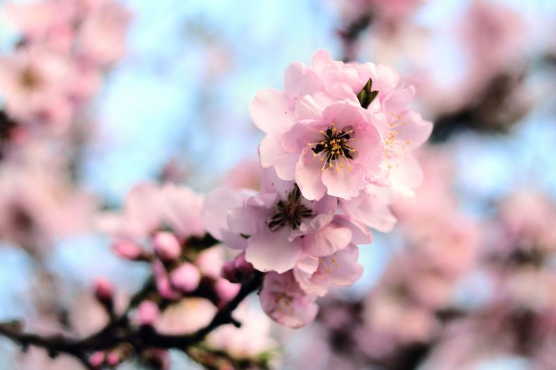 Flower Fragility Nature Pink Color Beauty In Nature Petal Growth No People Freshness Blooming Close-up Flower Head Outdoors Day Tree Plum Blossom Sky Nature Nature_collection Nature Photography Cherry Blossom Cherry Tree Cherry Blossoms Kirschblüten  Kirschblüte