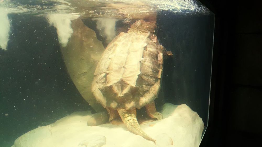 Underwater Swimming Close-up Turtle Power Turtle 🐢 Turtles Swimming Turtle Cuteness Snapping Turtle Snappingturtle Water
