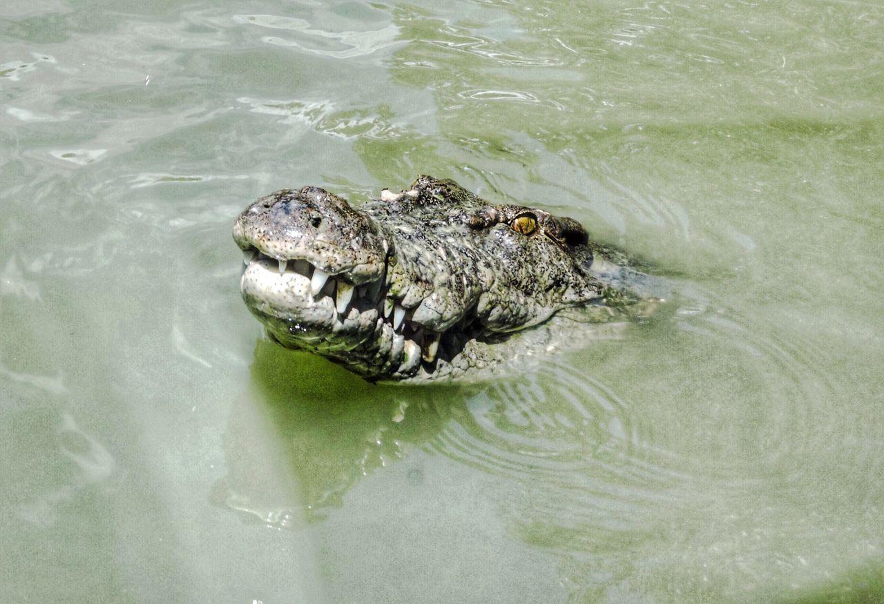 Crocodile Lurking Saltwater Crocodile Dangerous No Swimming River Cairns Mangroves Australia Wildlife Wildlife & Nature Wildlife Photography Wild Water Swimming Animal Head  Headshot Green Color Teeth Predator Predators Scary