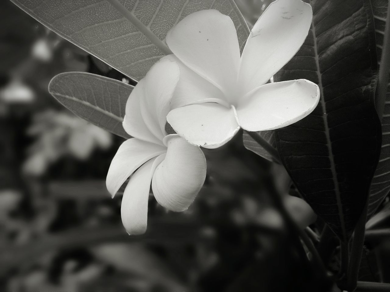Flower Feeling Down Blackandwhite