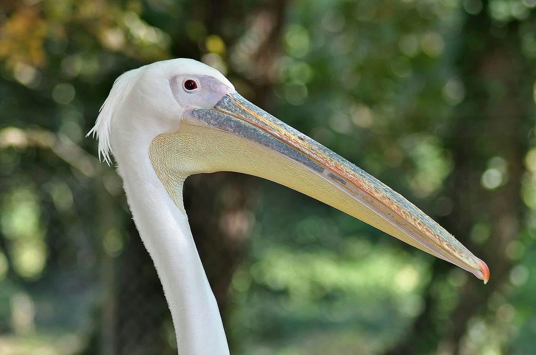 Pelican Oiseaux Bird Oiseau Zoo De La Palmyre France Photos Around You Gironde