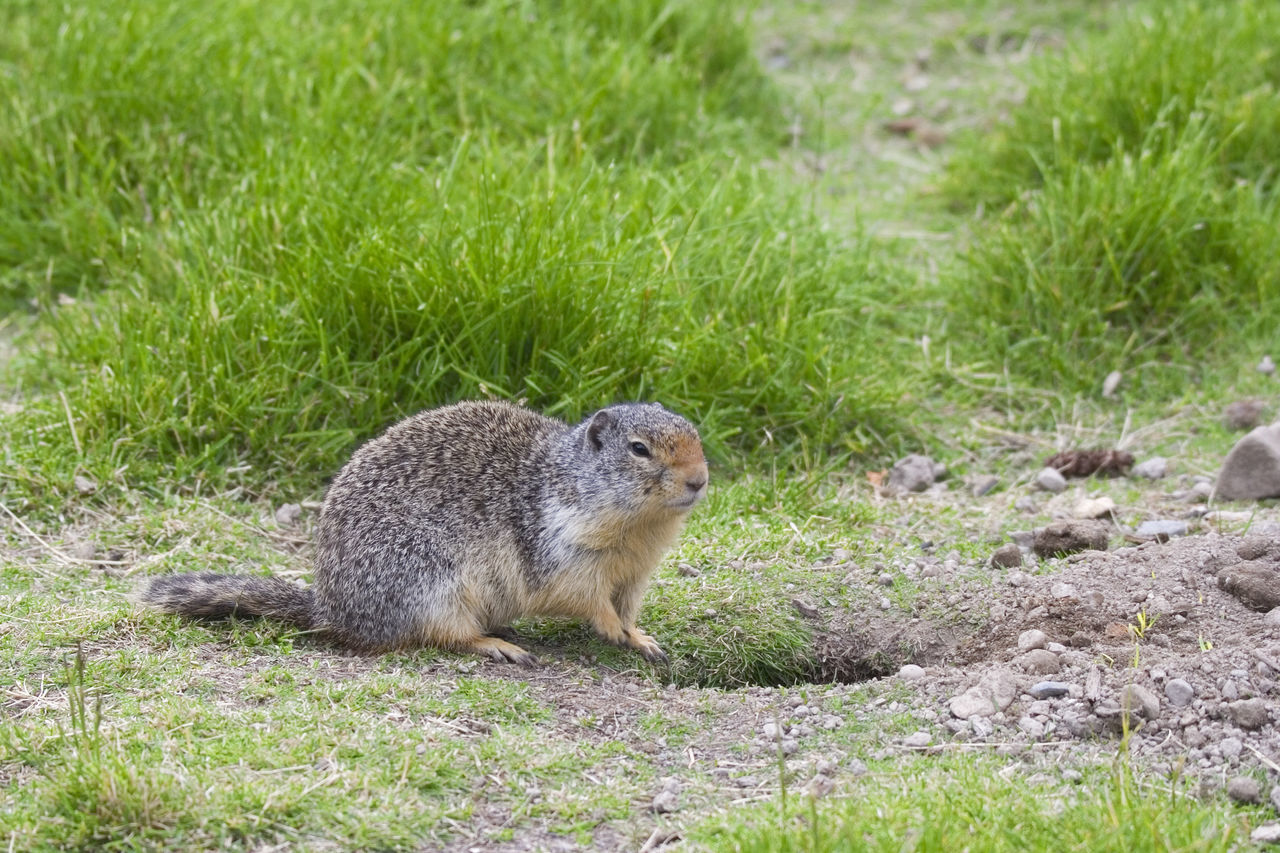 one animal, grass, animals in the wild, field, animal themes, outdoors, nature, animal wildlife, day, green color, mammal, squirrel, no people, sitting, full length, close-up