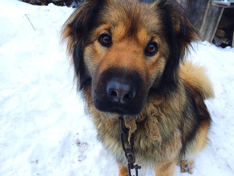 Gerda Dog Pretty Snow Russia Lovely Coldly Perm