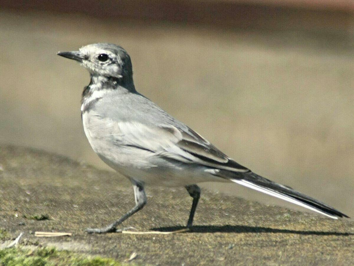 セキレイ EyeEm Nature Lover EyeEm Birds Birds_collection