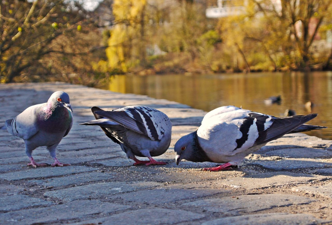 Afternoon Sun Animal Themes Animal Wildlife Animals In The Wild Autumn Beauty In Nature Bird Day Full Length Nature No People Outdoors Pigeons Pigeonslife River Side Walk Tranquil Scene Water