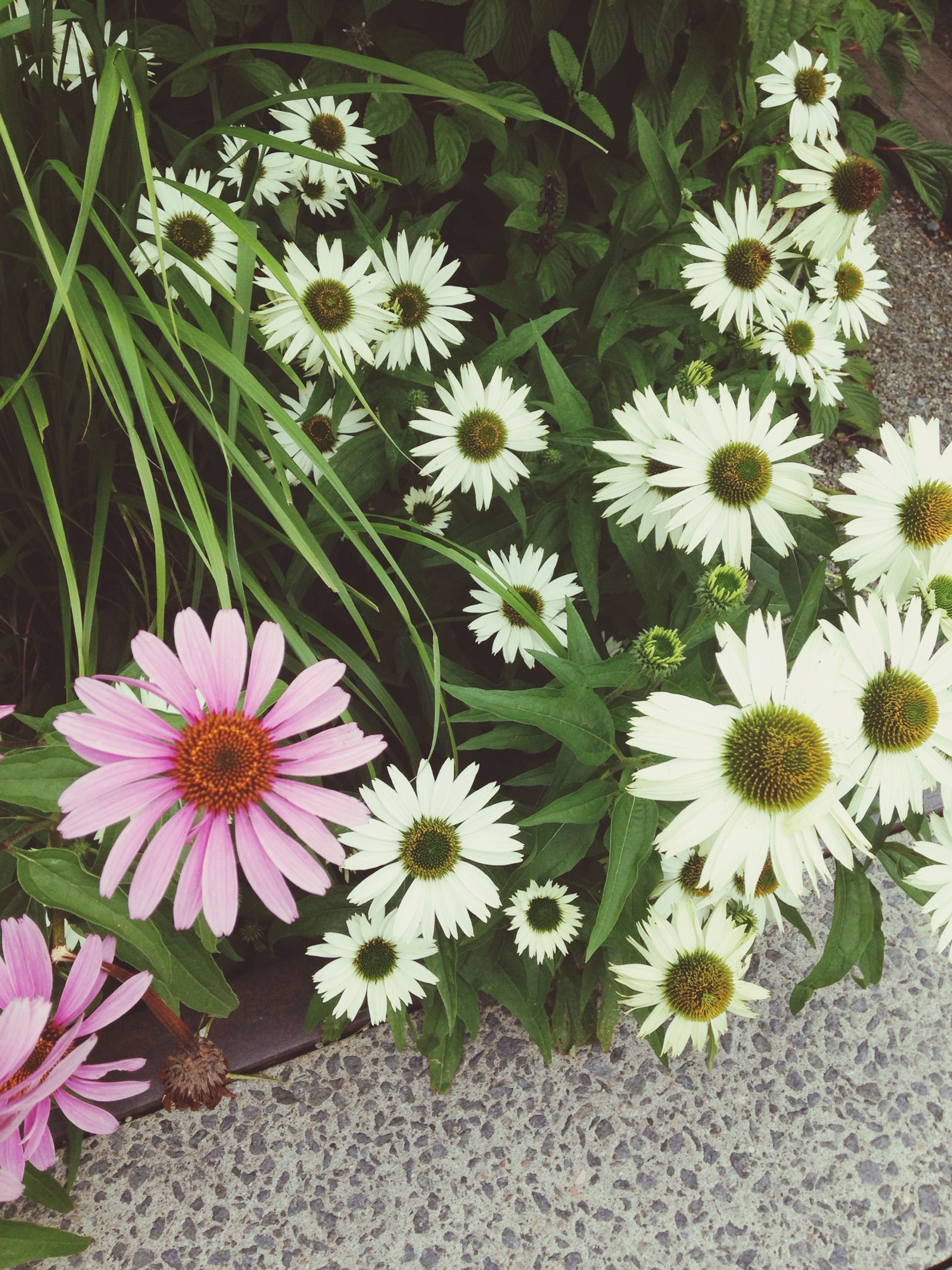 flower, petal, fragility, freshness, flower head, growth, high angle view, daisy, white color, beauty in nature, blooming, nature, plant, in bloom, pollen, blossom, no people, day, close-up, botany