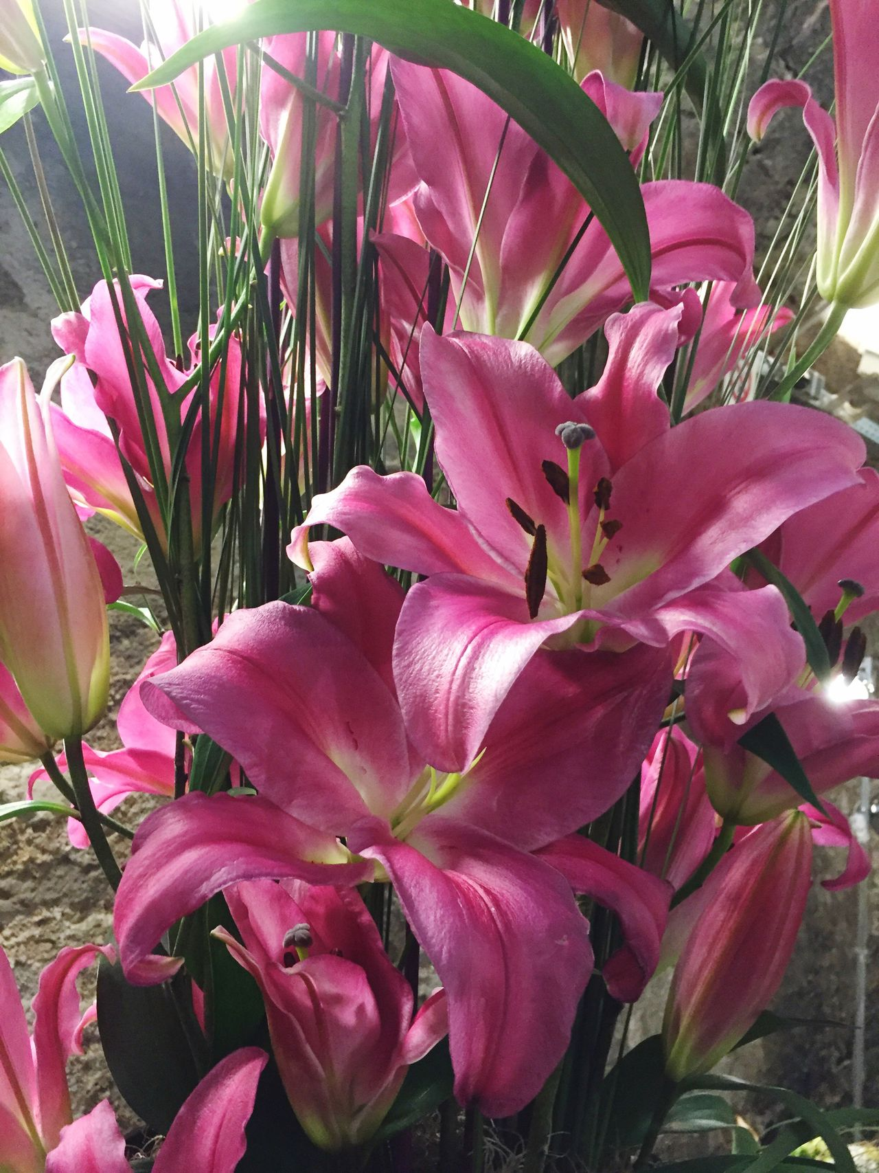 Flower decoration with pink lilies Flower Fragility Growth Beauty In Nature Petal Freshness Pink Color Nature Plant Flower Head Close-up No People Day Outdoors Day Lily
