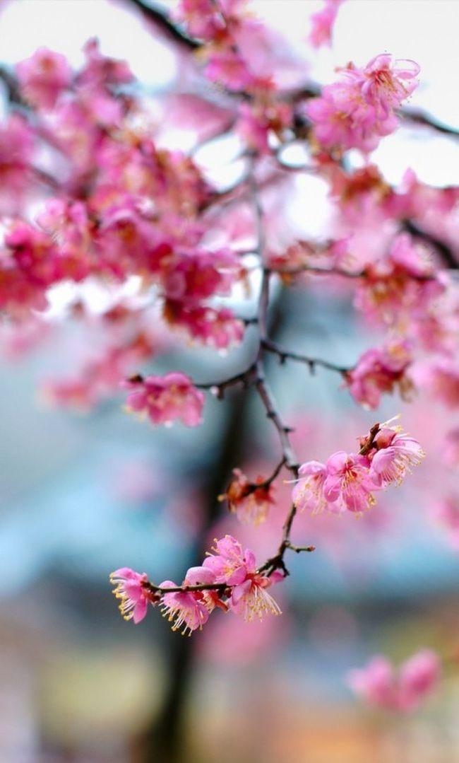 양산, 통도사 홍매화 Flowers Photography A700
