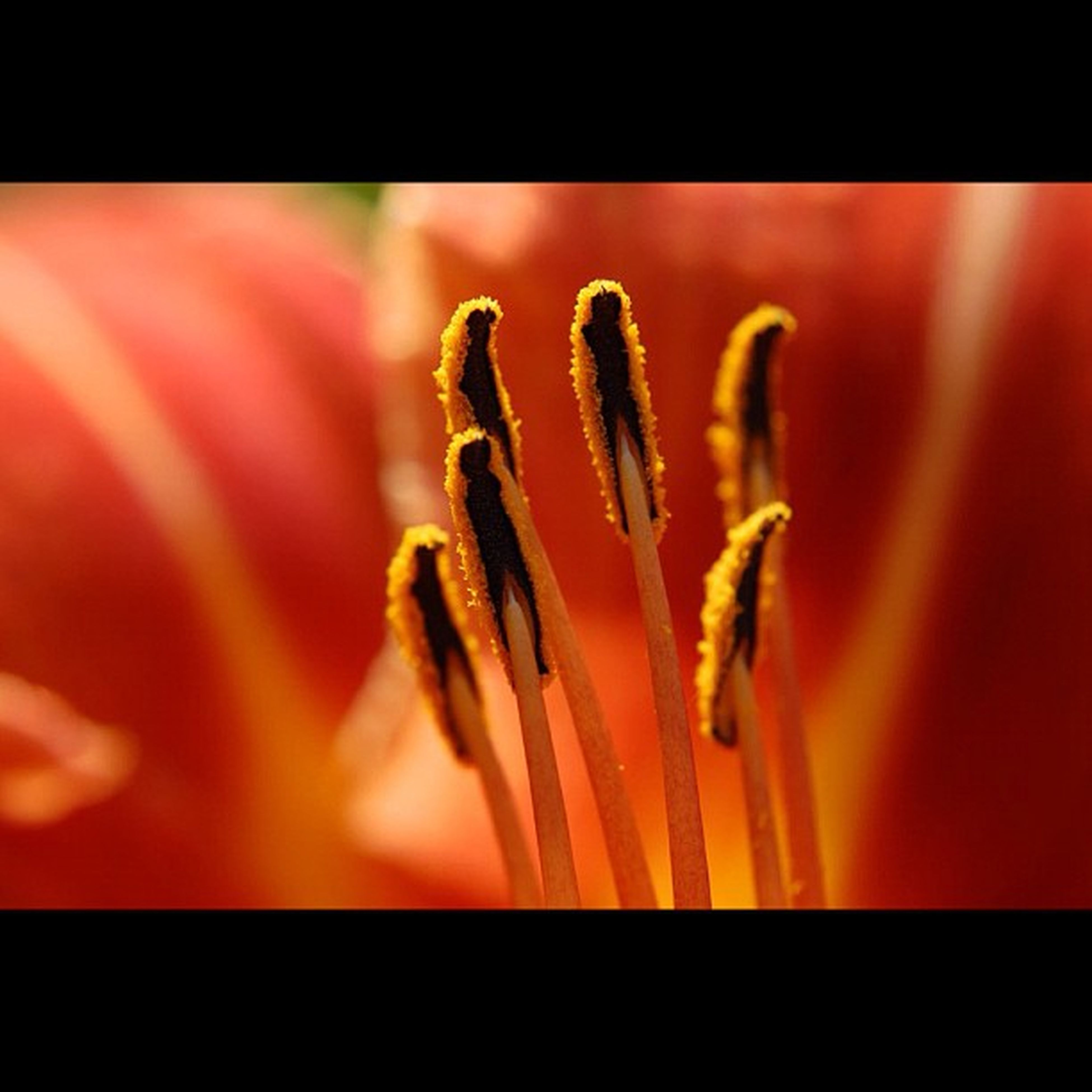 flower, transfer print, close-up, petal, auto post production filter, fragility, flower head, selective focus, beauty in nature, freshness, focus on foreground, red, nature, single flower, insect, growth, indoors, macro, no people, plant