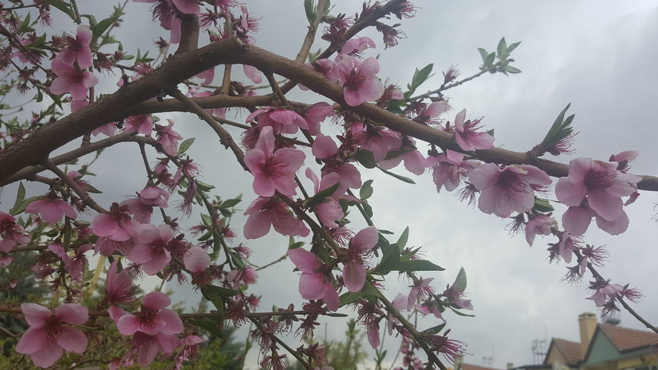 Spring 2017 Spring Flowers Cloud - Sky Rainy Weather Nature Nature Photography A Beautiful Day Tree Branch  Samsung Note 5 Photography