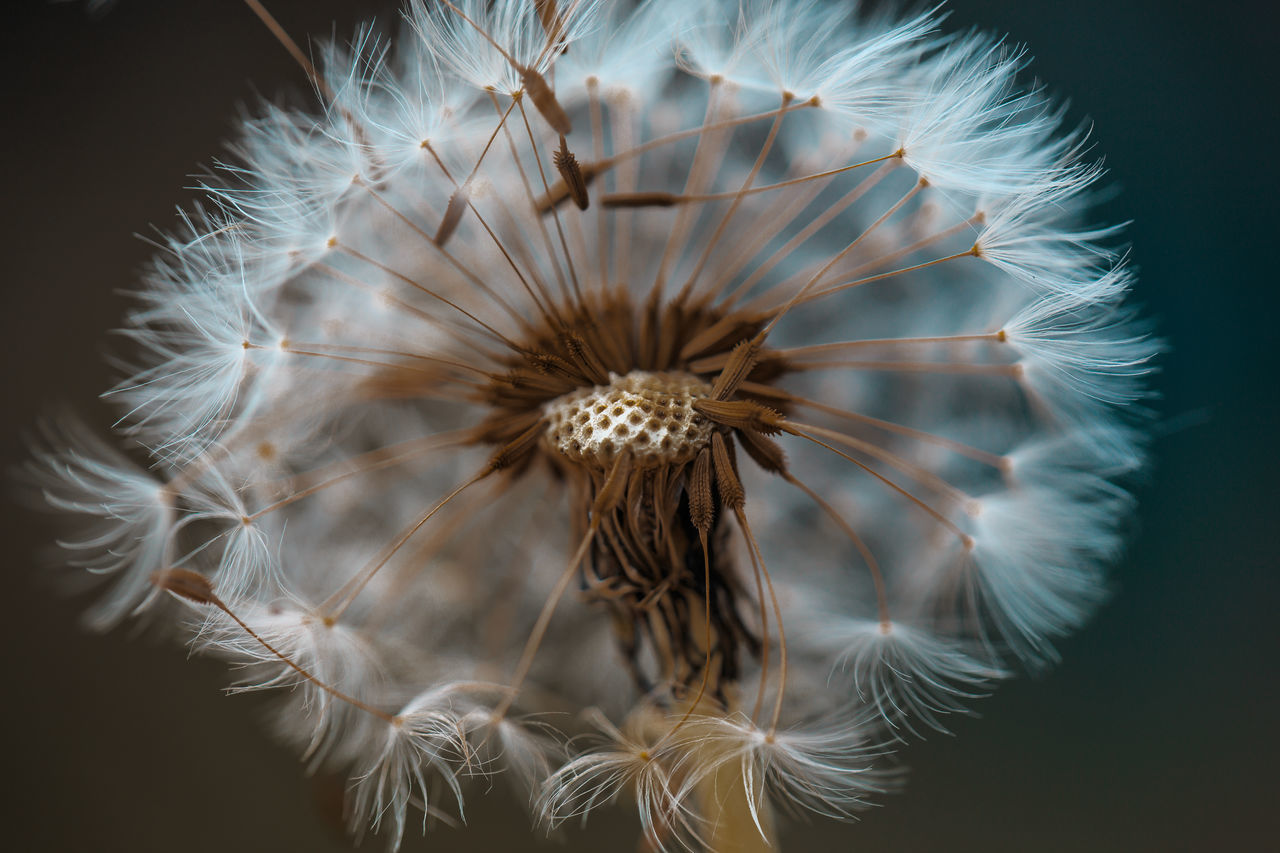 Dandelion Beautiful Close-up Dandelion Dandelion Seed Flower Flower Head Fragility Garden Nature Nature Wildlife