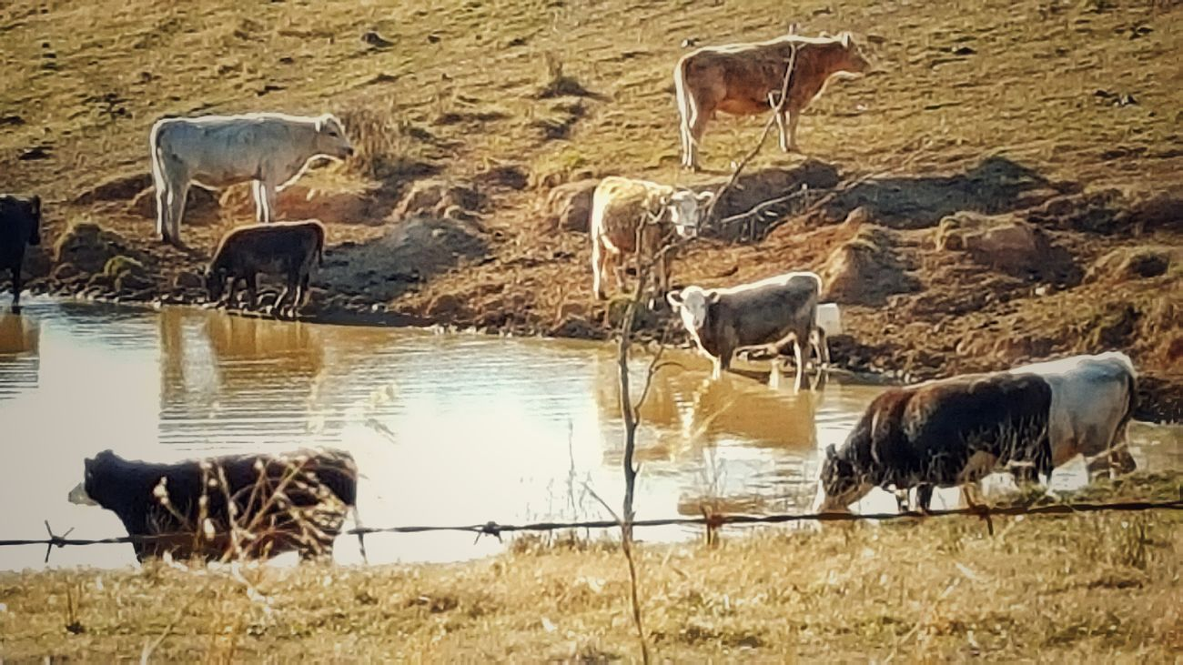 Showcase: February Cows!!! Pond Life Water Reflections Steaks Hamburger Roast Beef Country Life Animal_collection Animal Photography Drinking W/ Friends Swimming Pool Pondlife Outdoor Photography Cow And Calf Herd Of Cows Foodporn❤️ Healthy Eating Organic Food Beef Is What's For Dinner Fenced-in