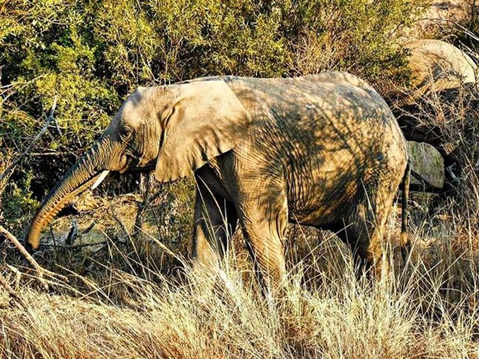 A wild elephant on a South African safari! Elephant Elephants Adventure Travel Scenery Safari Southafrica Southafricanelephant Nature Wild Beautiful Tour Tourism Free BIG Majestic Animal Animals Majesticanimal Majesticanimals Wild Wildlife