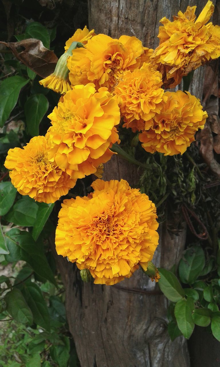 flower, yellow, fragility, growth, freshness, nature, flower head, beauty in nature, petal, outdoors, no people, marigold, day, plant, close-up, leaf, springtime, blooming