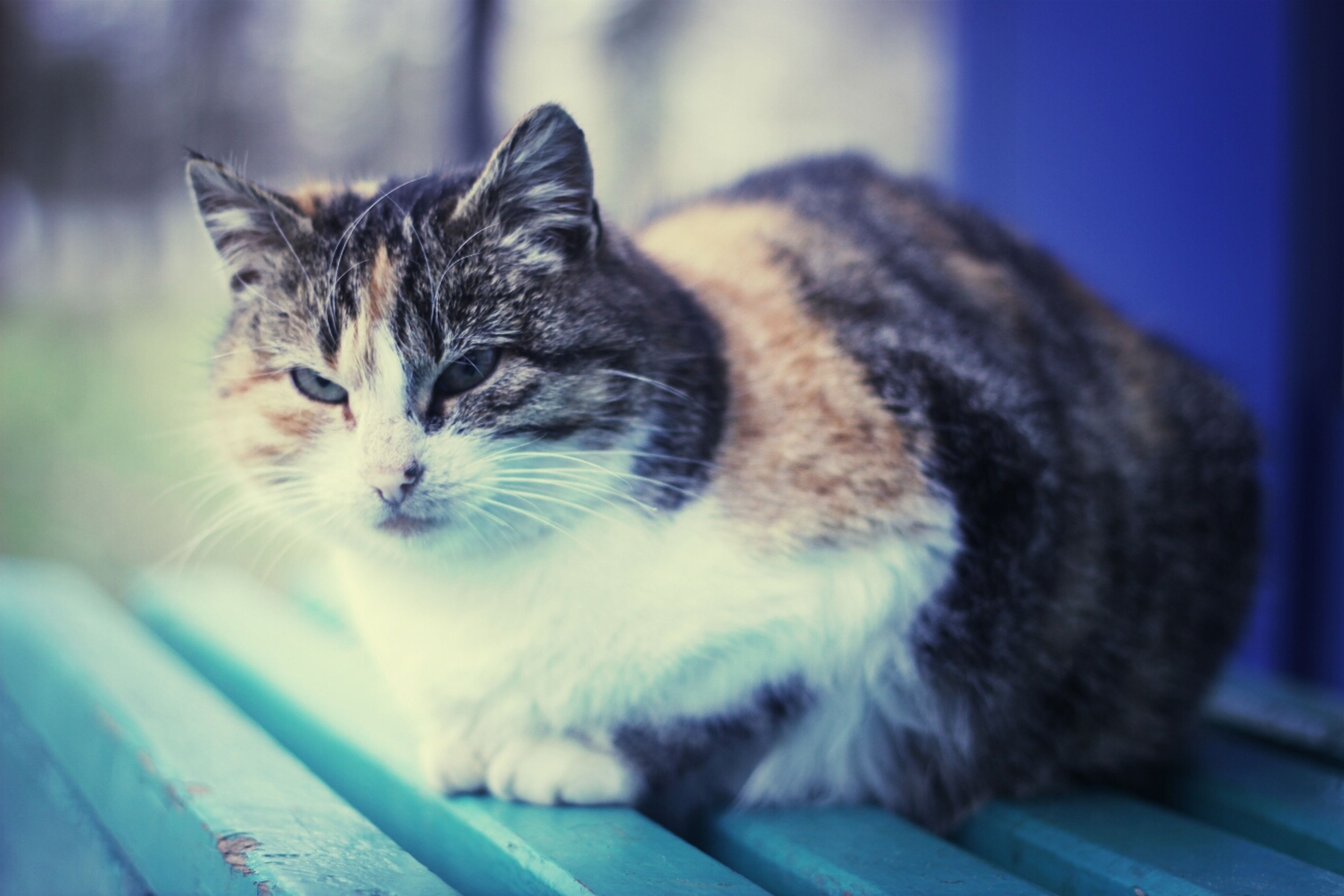 domestic cat, one animal, animal themes, pets, cat, domestic animals, feline, indoors, mammal, whisker, focus on foreground, close-up, relaxation, home interior, portrait, no people, sitting, looking at camera, selective focus