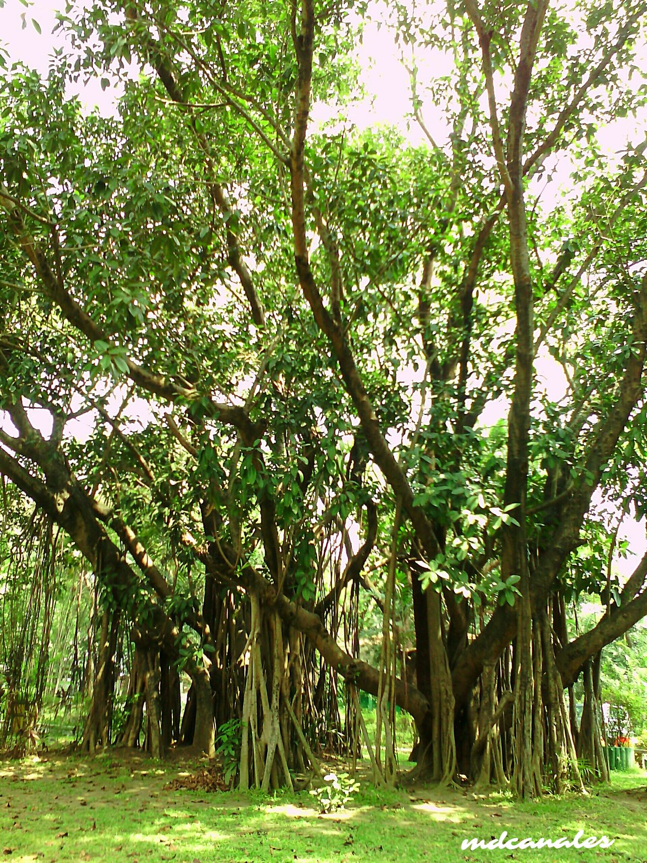 Tree Growth Nature Green Color No People Beauty In Nature Outdoors Outdoor Beauty Outdoors, Outside, Open-air, Air, Fresh, Fresh Air, Outdoor Photography Trees And Nature Beauty In Nature Philippines Green Color Growth