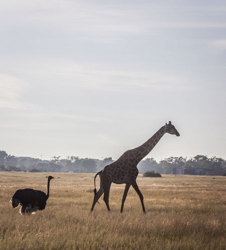 Africa Animal Animal Themes Animal Wildlife Animals In The Wild Beauty In Nature Day Full Length Giraffe Grass Intelligence Landscape Mammal Nature Nature No People Ostrich Outdoors Side View Standing Wildlife