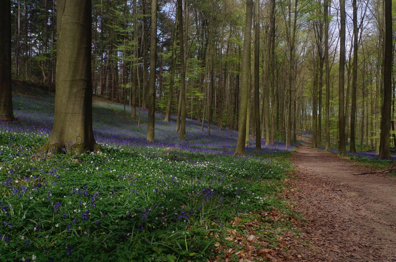 Promenade matinale dans le Bois De Halle Hallerbos en Fleurs Jacinthe , Halle  Brabant Belgium . Nature Nature Photography Naturelovers Pentax