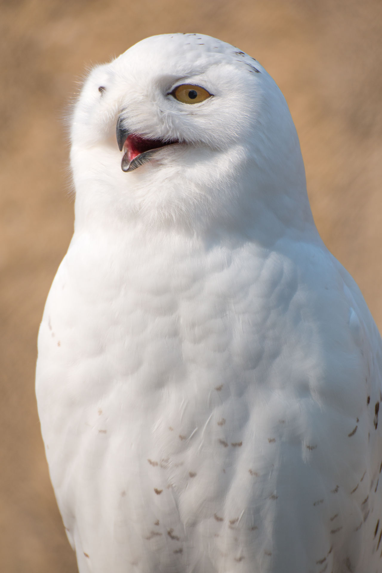 Shouting Owl on a close up portrait Animal Themes Animal Wildlife Animals In The Wild Beak Bird Bird Of Prey Close-up Day Focus On Foreground Nature No People One Animal Outdoors Owl Owl Art Owl Eyes Snow White Color