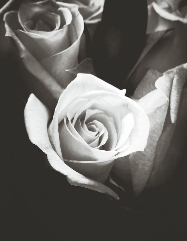 Roses Black And White Photography Black And White Roses Flowers Flowers,Plants & Garden The Week Of Eyeem Simplicity Black And White Roses White White Roses White Rose Fine Art Photography Black And White Flowers EyeEm Best Shots EyeEm Best Shots - Black + White Eyeem Best Shots - Roses Macro Light And Shadow Light