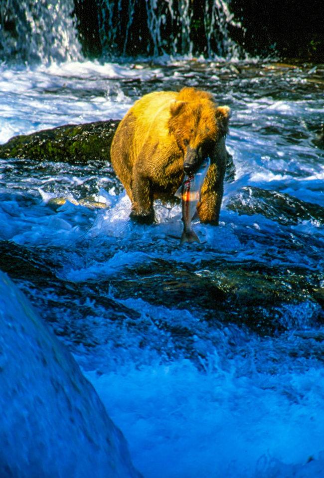 Alaska Alaska Bear Beauty In Nature Brooks Falls Close-up Day Fishing Grizzly Katmai National Park Mammal Motion Nature No People Outdoors Salmon Water
