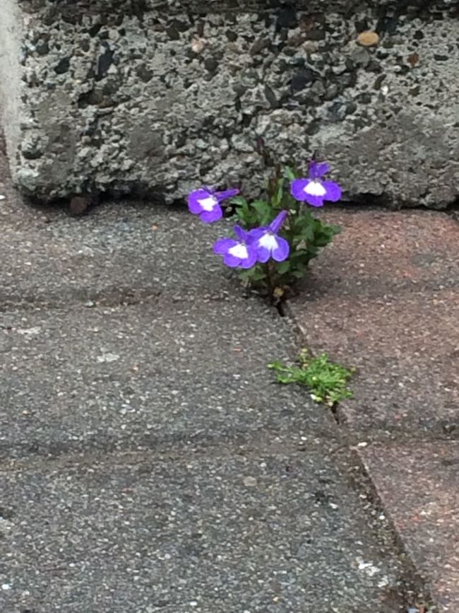 Through a crack in the concrete Purple Flower Freshness Fragility Growth Petal High Angle View Plant Beauty In Nature Nature Blossom In Bloom Springtime Botany Flower Head Vibrant Color Lavender Day Flowering Plant Lavender Colored