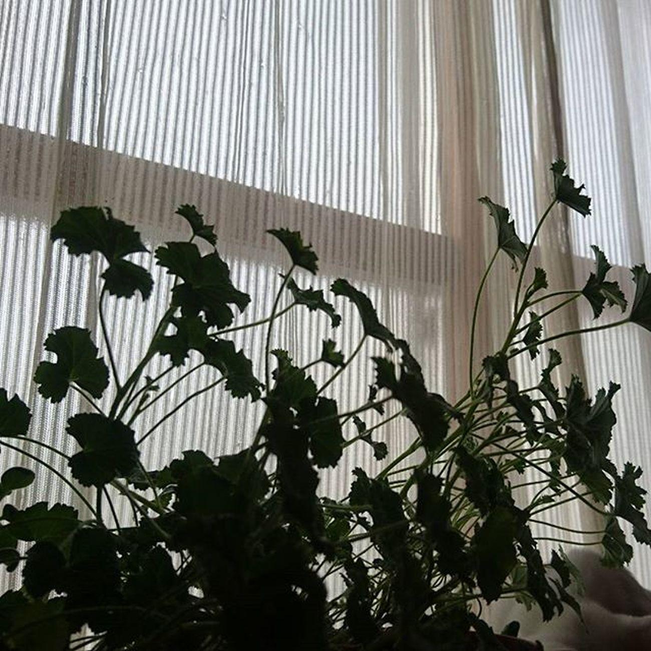 なおphoto ペラルゴニウム 葉っぱだけ 伸び放題 ホントに引きこもってまーす(笑)