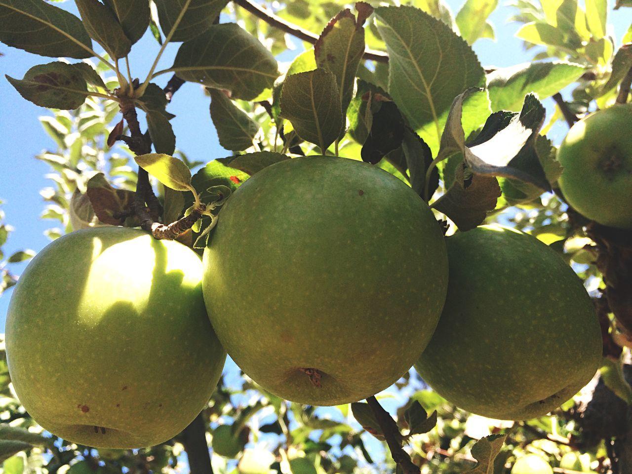 Lovely green apples 🍏 Green Apples Apple Picking Green Apples  Flowers,Plants & Garden Apple Hill