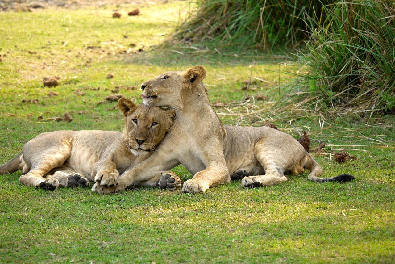 African Bush Animal Animal Behavior Animal Family Animal Themes Animals In The Wild Day Lions Lying Down Mammal Relaxation Resting Safari Safari Animals Wildlife Young Animal