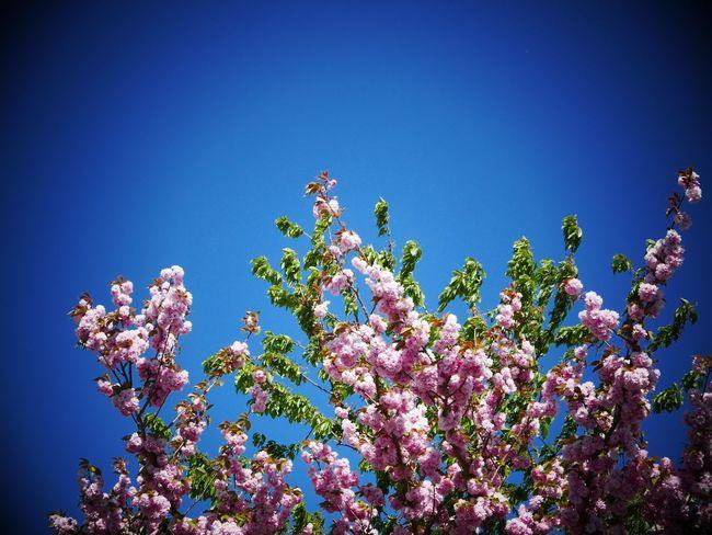Japanese cherry tree Tree Cherry Tree Japanese Cherry Tree. Spring Blue Sky