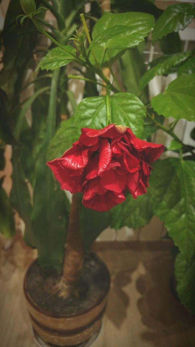 Hibiscus Red Flower Nature Leaf Plant Freshness Green Color Beauty In Nature Close-up Blooming Varna,Bulgaria Bush