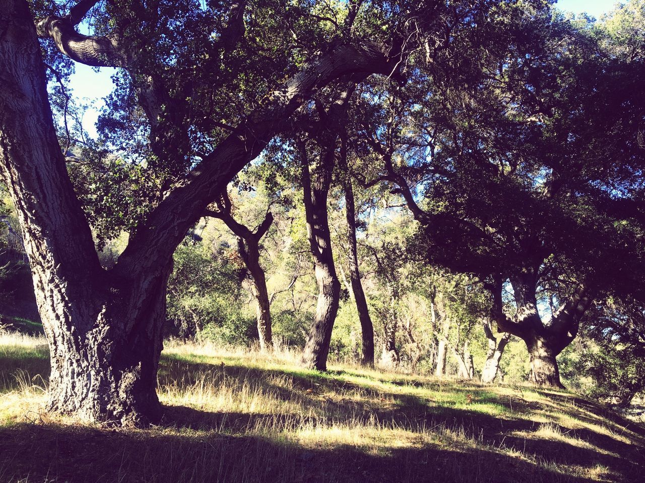 Oak woodlands. Hiking SoCal Hiking IPhoneography Nature Nature_collection Nature Photography Oak Trees Oak Tree Hiking Trail Hiking❤ Hiking Adventures Trail Landscapes With WhiteWall Here Belongs To Me