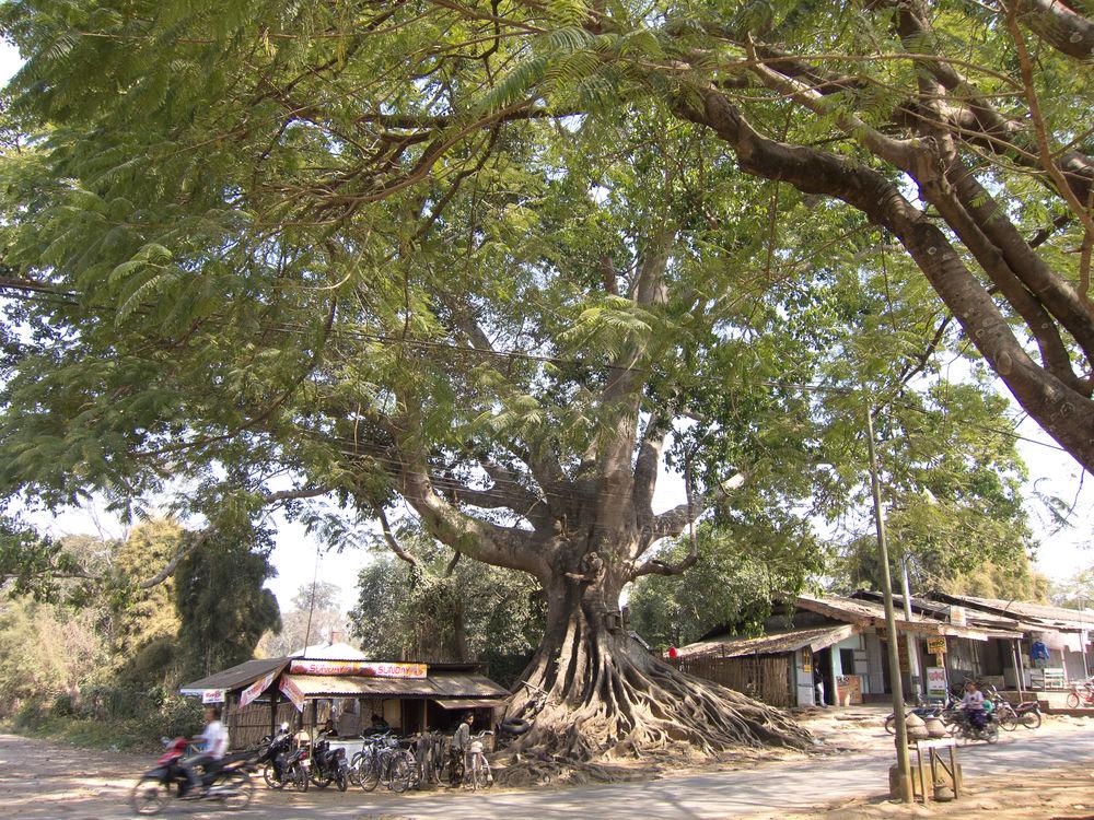 Birma Burma Myanmar Pyin Oo Lwin Pyinoolwin Shades Of Grey Town Tree