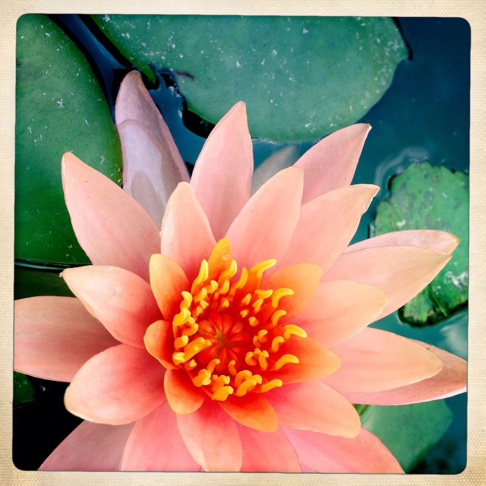 Hipstamatic pink lilly floats among the Koi fish